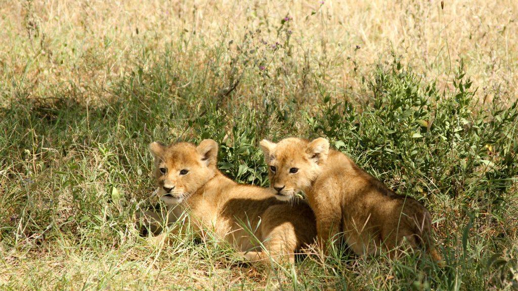 Baby lions Uganda