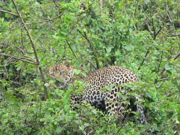leopard Queen Elizabeth Uganda