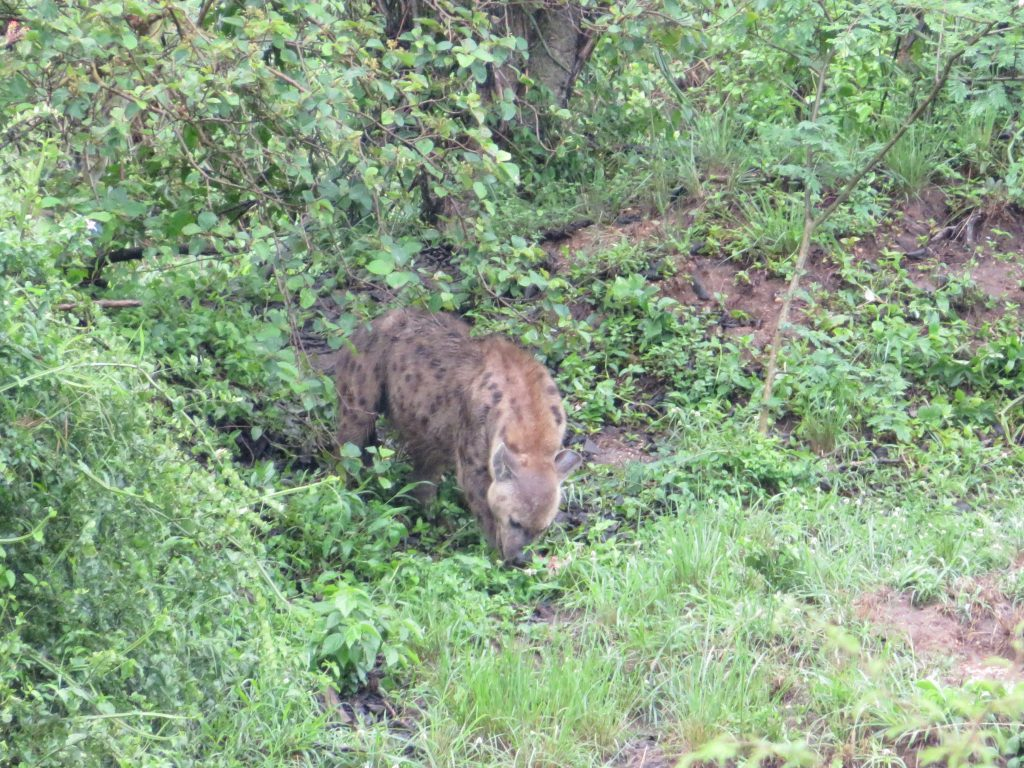 Hyena Queen Elizabeth Uganda