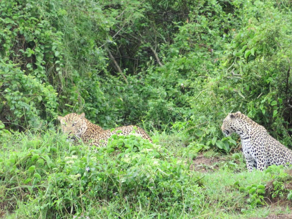 Leopards Queen Elizabeth Uganda