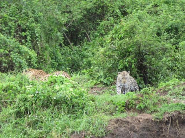 Leopards Queen Elizabeth Uganda