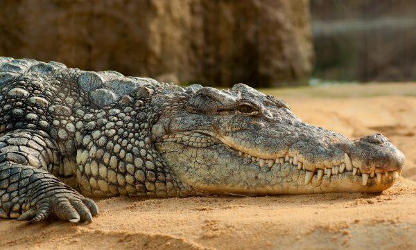 Crocodile Queen Elizabeth Uganda