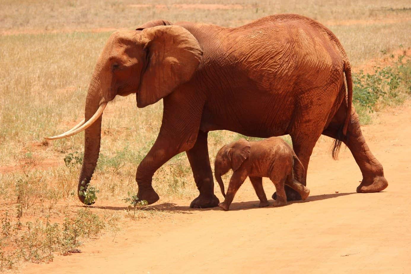Elephans uganda safari
