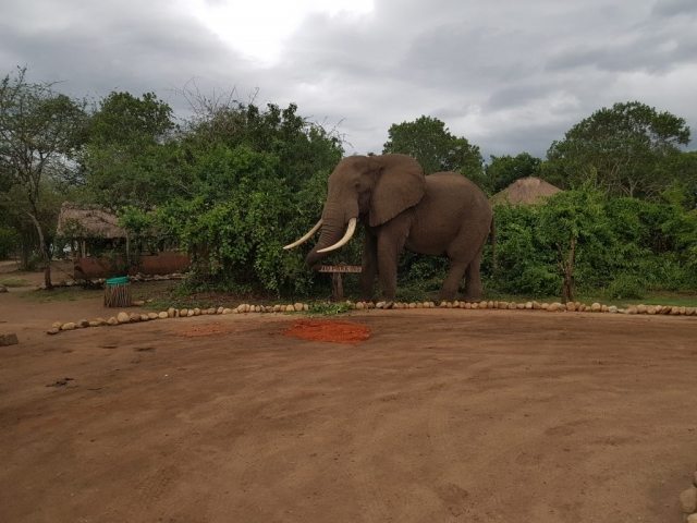 Elephant in Bush Lodge Queen Elizabeth