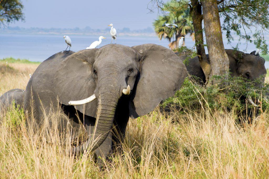 Elephants Murchison Falls Uganda