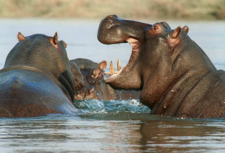 Hippos Murchison Falls Uganda