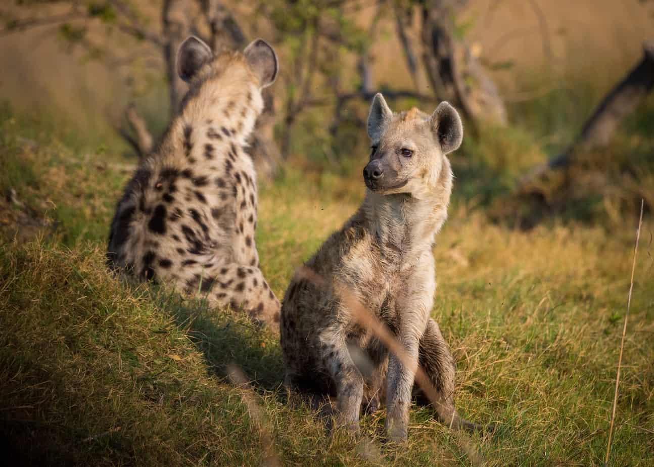 Hyinas Queen Elizabeth safari uganda