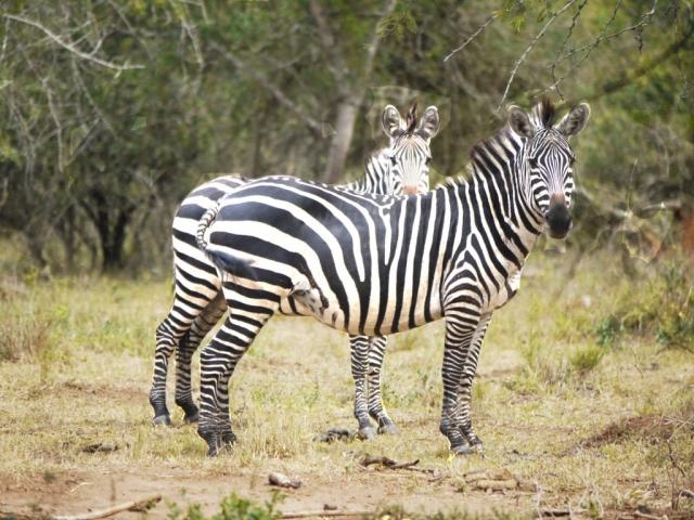 Zebras Queen Elizabeth National Park Uganda