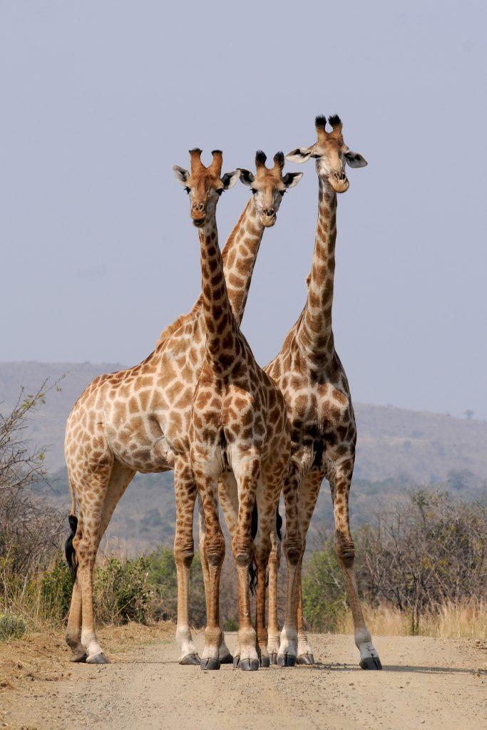 girafs Murchison Falls Uganda safari
