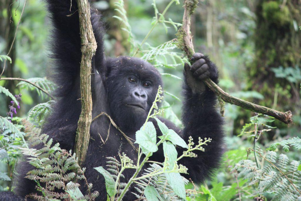 Gorilla Rwanda Volcanoes National Park